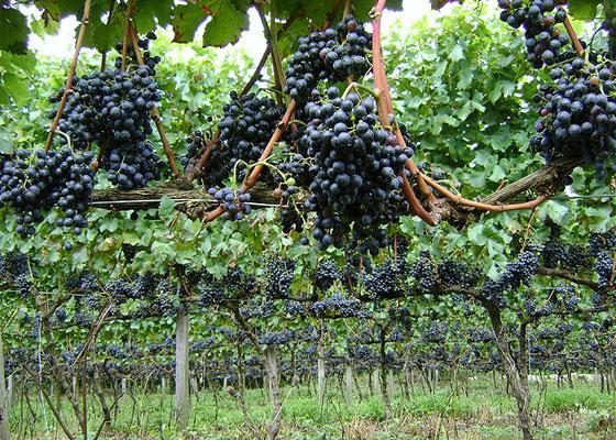 O novo vinho brasileiro