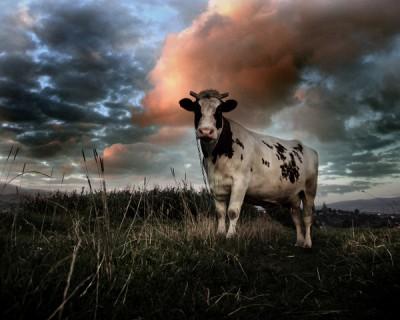 "A Air France e ""la petite vache"""