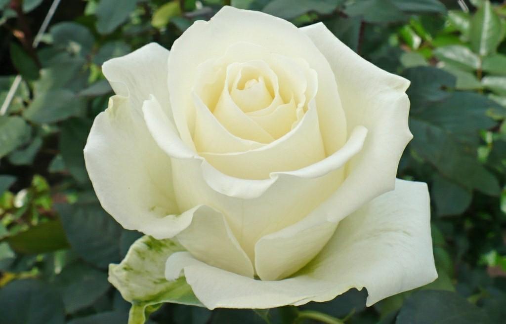 A rosa branca no retrato: a lembrança para a mãe imortal