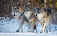 Os lobos vão se afogá