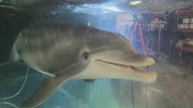 Golfinho-robô pode acabar com cativeiros de animais em parques temáticos